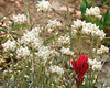 Blood Red Indian Paintbrush and Rocky Mountain Pussytoes